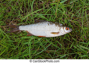 Single roach fish on green grass.