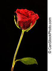 Single rose - Image of single red rose isolated on a black ...