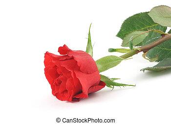 single rose on white