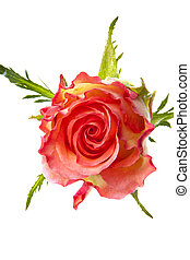 One single pink rose isolated over white