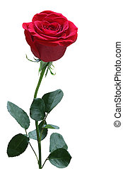 Single Rose - Single red rose with leaves isolated on white