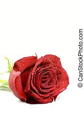 Single Rose - Single Red Rose. Separated. Vertical Photo