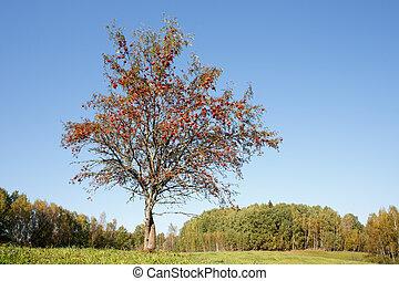 Single rowan tree