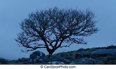 Single Rugged Tree On Windy Mountain - Gnarled old tree in...