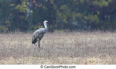Single Sandhill Crane in a field