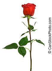 scarlet rose - single scarlet rose on a white background