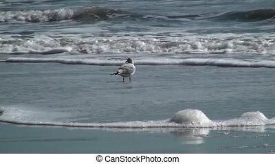 Single Sea Gull watching the surf