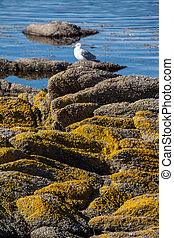 Single Seagull sits on the rocks