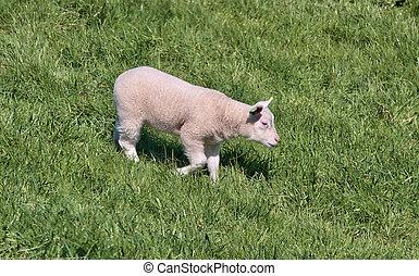 alone - single sheep walking said alone
