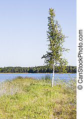 Single slim birch tree grow at lake coast