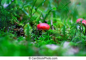 Single small red mushroom in green moss. Rusula