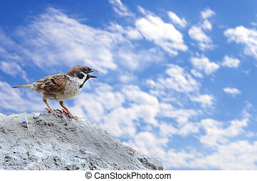 Single sparrow standing on rock with blue sky