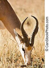 Single springbuck grazing in the Kalahari