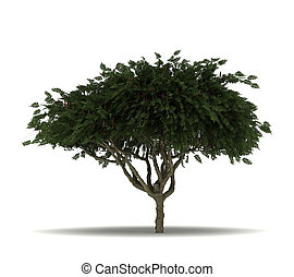 Single Staghorn Sumac Tree