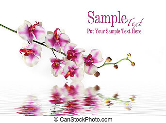 Branch of white and red Orchid against white water background.