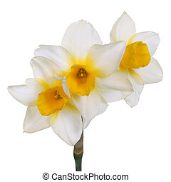 Single stem with three yellow-cupped white-corona jonquil flowers of cultivar 'Goldfinch' isolated against a white background