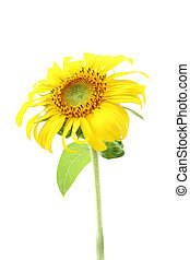Single sunflower and leaf isolated on white background.