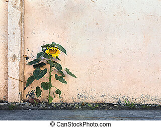 single sunflower on the background of a concrete wall