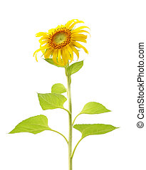 Single sunflower plant and leaf isolated on white background.