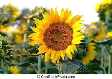 single sunflowers in field