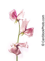 single sweetpea stem over a white background