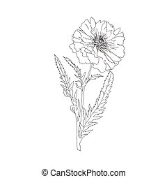 single terry poppy isolated on white