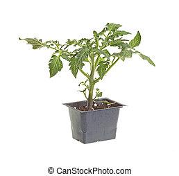 Single tomato seedling isolated against white - Seedling of...