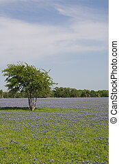Single Tree and Bluebonnets