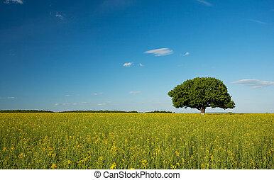 Single tree in canola field