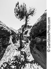 Single Tree in the Slot Canyon Black and White