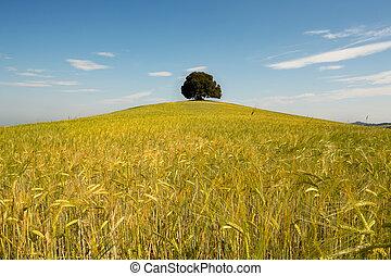 Single tree in wheat field