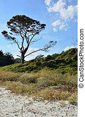Single tree on the dunes
