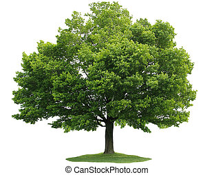 Single Tree - Single maple tree isolated on white background