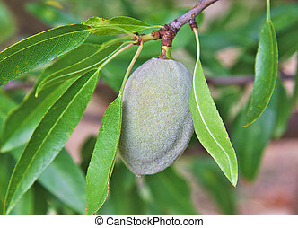 Single unripe almond on almonds tree