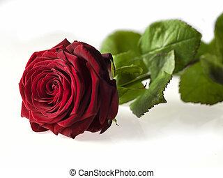 Single Valentine's day rose isolated on white background