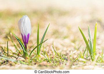 Single violet crocus on the grass