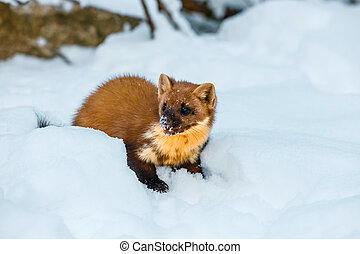 Single weasel sitting at snow field, mustela nivalis