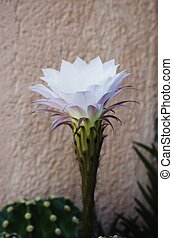 Single White Cactus Flower