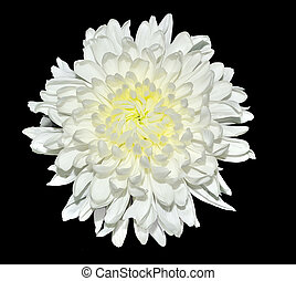 Single white chrysanthemum flower close up, isolated on a black background
