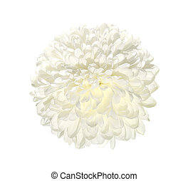 Single white chrysanthemum flower close up, isolated on a white background