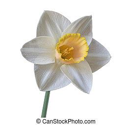 Single White Daffodil