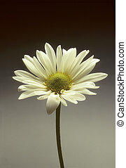 Single white daisy against a gradated background
