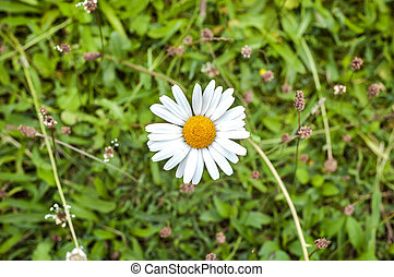 Single white daisy seen from above against a green grass background