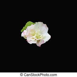 single white hibiscus mutabilis on a dramatic black ...