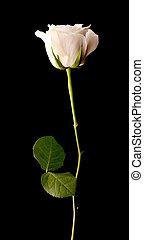 Single white rose on black - Single white rose on a black...