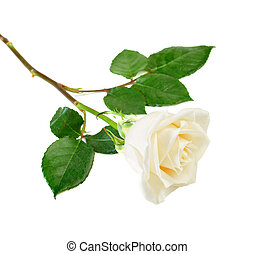 Single white rose with leaves isolated