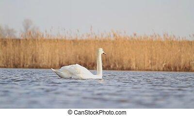 Single white swan floating on the lake