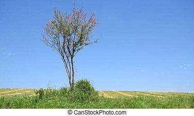 Single wild cherry plum tree grows in field - Lonely wild...