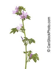 wild mallow - single wild mallow flower on white background