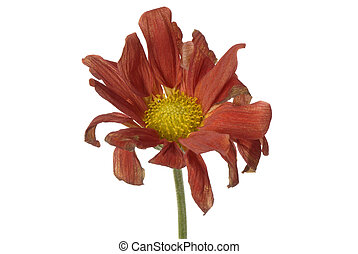 wilted flower isolated - single wilted flower isolated on ...